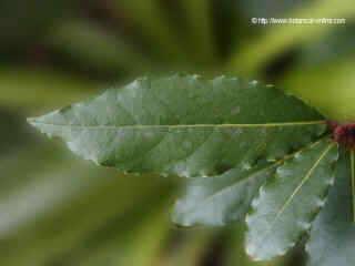 Sweat bay leaves