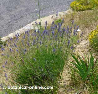 General aspect of lavender