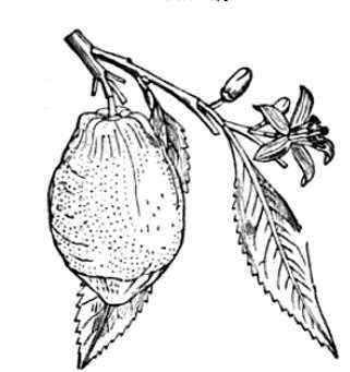 Drawing of lemon fruit with leaves and flowers