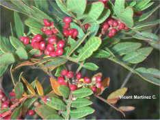 Lentisc plant