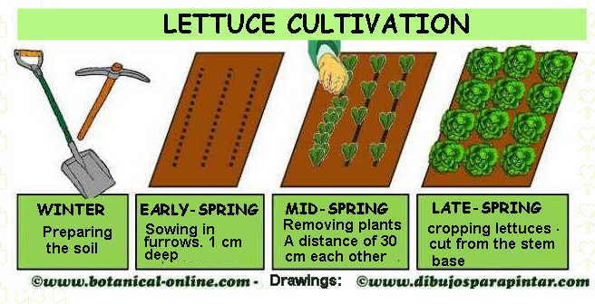lettuce cultivation chart
