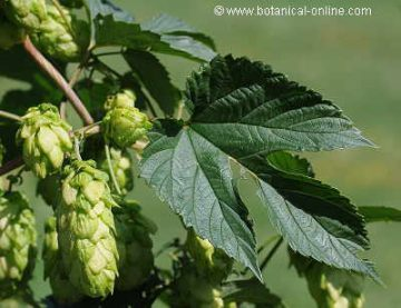 Detail of the cones (infrutescences) and the leaves of hops.