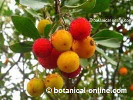Strawberry tree fruits