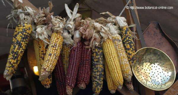 Photo of dried corn cobs