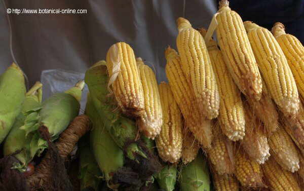 Photo of tender corn cobs