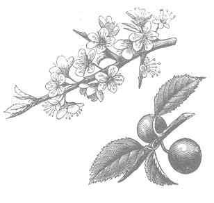 Black thorn