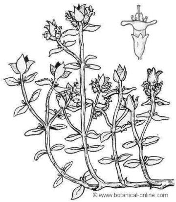 Thyme drawing
