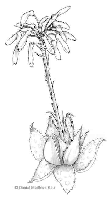 Aloe vera drawing