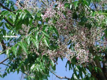 Photo of Chinaberry
