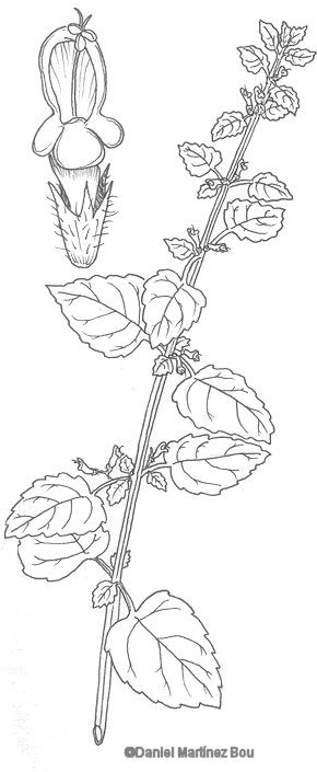 Lemon balm drawing
