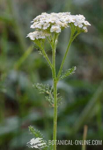yarrow, medicinal plant
