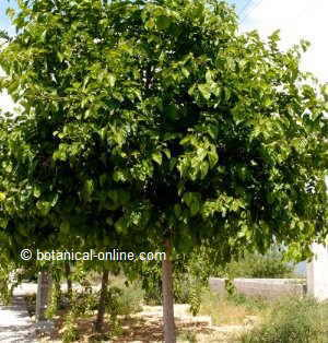 Photo of a mulberry tree