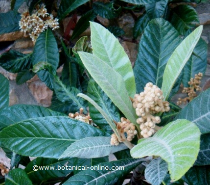 Panicle of loquat flowers, still not in bloom