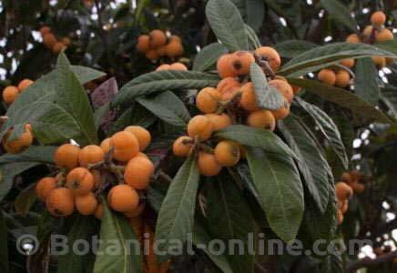 mature loquats