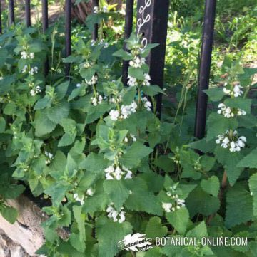 White nettles growing next to a garden fence