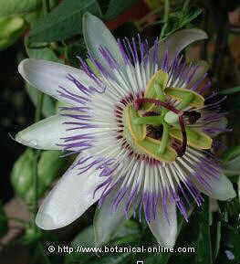 Common passion flower
