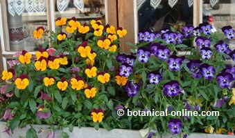Photo of pansies in a window, very decorative.