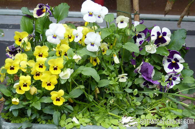 Flower pot with different types of pansies