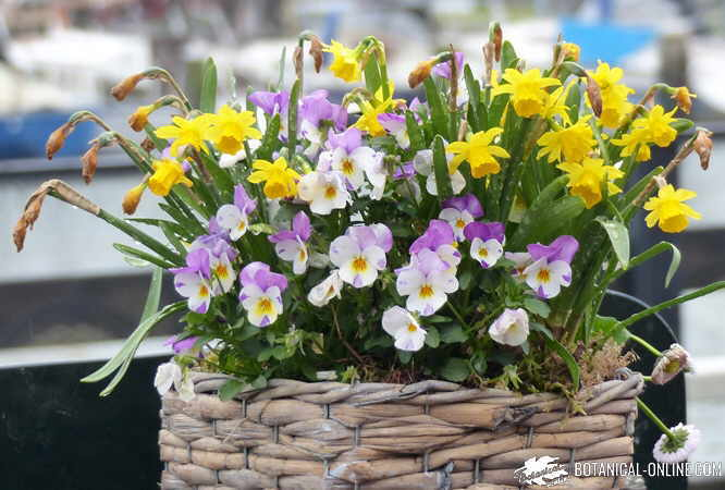 Pansy (Viola spp.) with daffodils in a pot