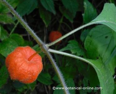 photo of bladder cherry
