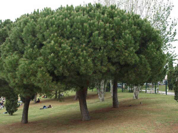 Stone pine aspect of tree