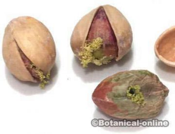 Pistachios mold because of bad conservation