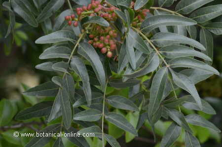 Leaves and fruits of mastic tree