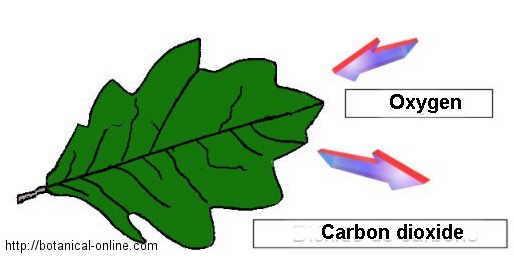 respiración de las plantas
