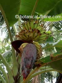 Flower of a banana tree