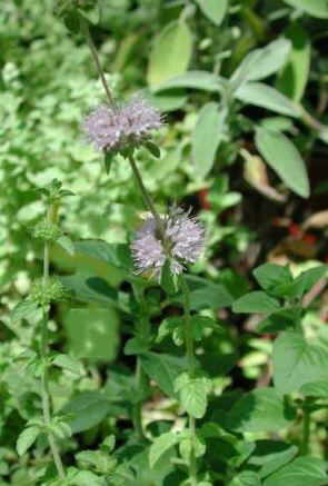 Photo of pennyroyal