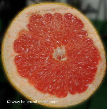 Photo of grapefruit