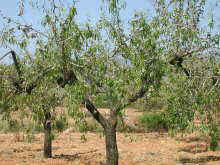 almond tree general aspect
