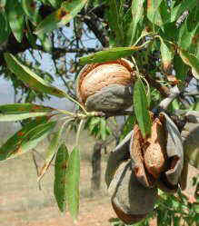 almond tree fruit