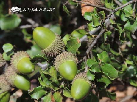 Quercus coccifera (holm oak)