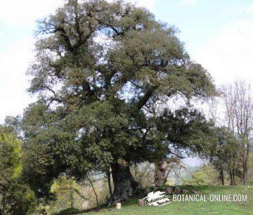 Oak general appearance