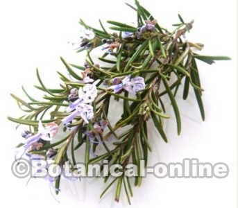 Leaves and flowers of rosemary infusion