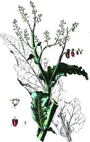 illustration of stem, leaves, inflorescence, flower and rhubarb fruit