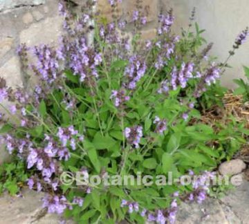 Cultivated sage in a garden