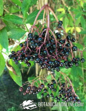 Elderberry branch with fruits