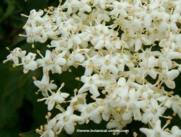 flores de saúco
