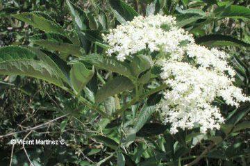 elder flowers and leaves
