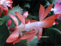 Thanksgiving cactus ( Schlumbergera gaertneri ( Christmas cactus)