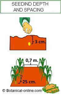 Corn seedding depth and plant spacing