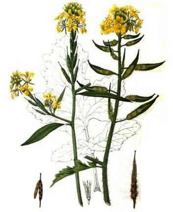 common mustard (Brassica nigra) (left), and white mustard (Sinapis alba)