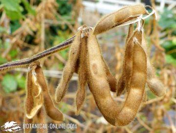 Soybean pods in a field
