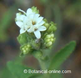 Flower of stevia