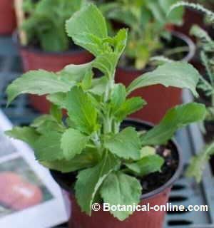 planta fresca de stevia