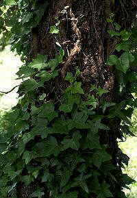 Photo of ivy climbing on an oak