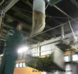 Tea winding( Camellia sinensis)