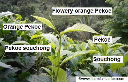 new shoot of tea plant with the names for each tea leaf.